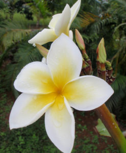 plumeria design jewelry picture